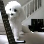 トイ・プードルがあのビートルズの名曲を奏でる!!ジョージもビックリ!!