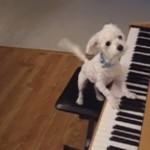 天才ピアノ犬アラワルアラワル!!〜犬業界のミシェル・ペトルチアーニ〜