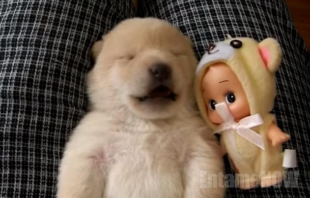 生まれて9日目の柴犬の赤ちゃん!!キュンキュンでかわいい鳴き声に萌死!!