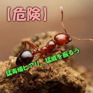 【危険】猛毒蟻ヒアリ、猛威を振るう