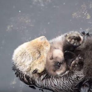 【※ニヤニヤ注意】赤ちゃんを寝かしつける母ラッコがイタズラッコ過ぎる!!