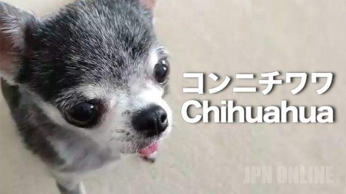 【ゼア犬アラワル】チワワ版永田裕志登場・・・!!ゼアッ!!