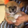 【かわいい豆柴】生後半年のキャワイイ子犬ちゃん動画♪