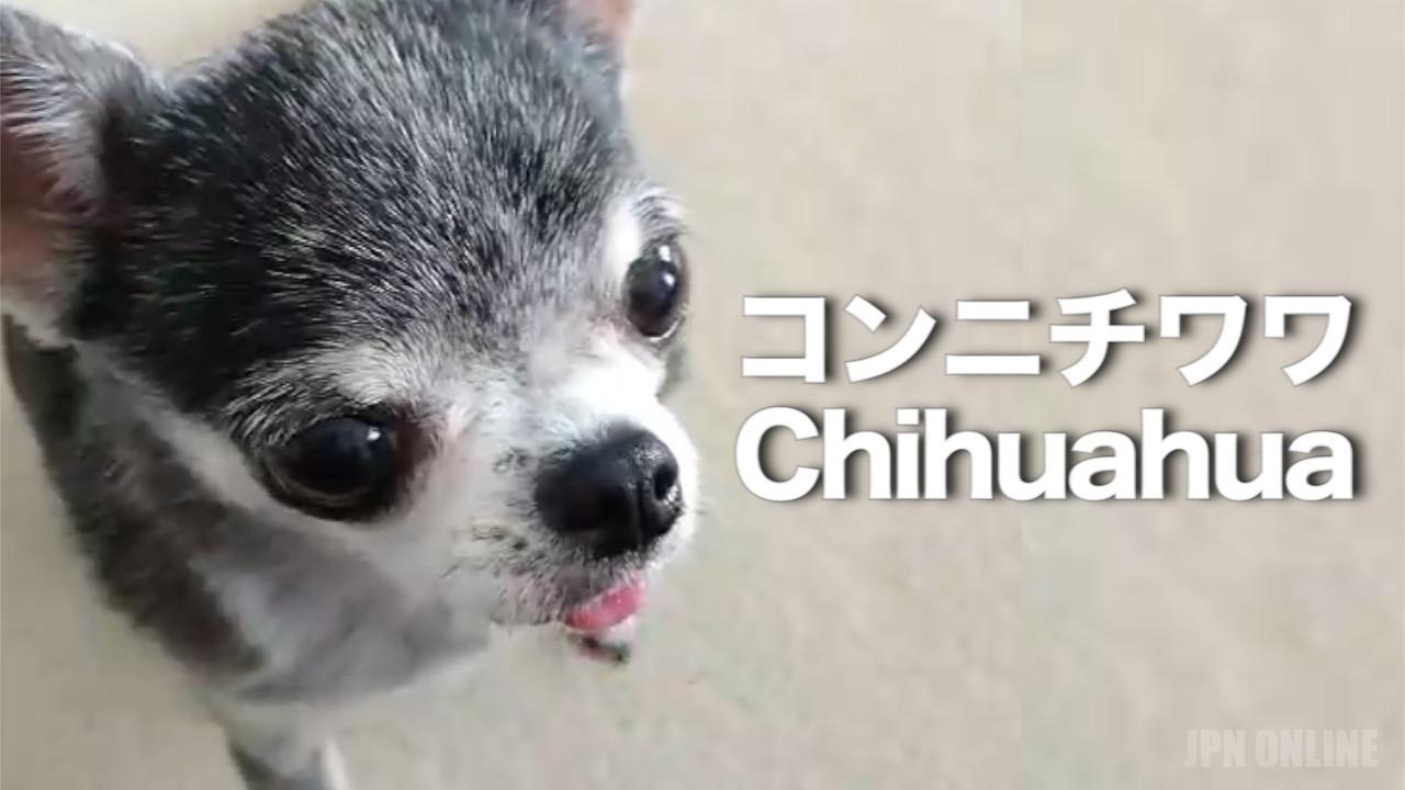 ペット, チワワ, 柴犬, トイプードル, ペット ショップ, 小犬, 子犬, 猫,