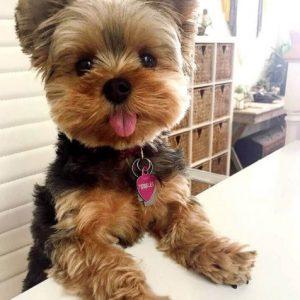 【モフモフ速報】愛犬ヨーキーだけが話し相手のメタボ中年独身の私が選ぶ最高のドッグフードとは・・・!?